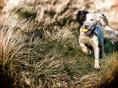 An apple a day .... (Missy Jussy) Tags: rupert dog dogwalk dogportrait pets field grass england englishspringer springerspaniel spaniel puppy apple animal canon canon70200mm canon5dmarkll