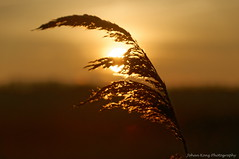 Sometimes ... (Johan Konz) Tags: oudelandsdijkje polder purmer purmerend waterland netherlands outdoor sunrise sky serene winter reed landscape nikon d90 depthoffield bokeh