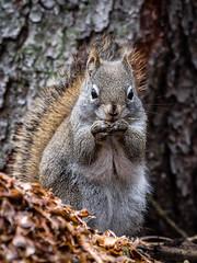513-EM552425 (Teemu Paukamainen) Tags: canada banffalberta vermilionlakes fenlandloop squirrel olympusem5 olympus40150mmf28 mc14teleconverter
