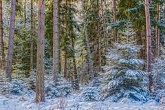 Märchenwald - fary tale forest (ralfkai41) Tags: bäume schnee cold nature hdr winter forest woods trees natur farytale outdoor märchen wald kalt snow