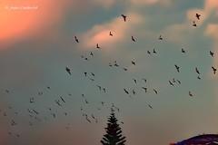 Sueña como si estuvieras volando. Medellín - Antioquia (Joan Cadavid) Tags: nikond5300 nikon pigeons palomas dawn amanecer cielo sky antioquia medellín colombia aves volando flying