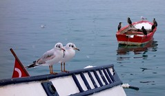 (aesrth) Tags: birds seagulls couple love winter sea cold water boat black white flag red blue nature waiting animals waves carl zeiss sony rx100 fluffy feather sharing gathering snow istanbul turkey