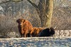 Highland cattle (Steven Whitehead) Tags: canon highland cattle cow 2017 nature wildlife cold frost fur feeding canon5dmk3