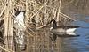 Goose Moon -- Canada Geese (Branta canadensis); Albuquerque, NM, Tingley Beach Park [Lou Feltz] (deserttoad) Tags: bird wildbird wildlife nature newmexico water desert waterfowl goose reflection refuge history behavior