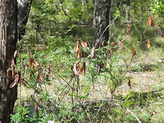Acacia terminalis (stitchingbushwalker) Tags: thehaystack gibralterrangenp acaciaterminalis acacia seedpods