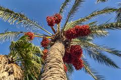 Dattelpalme (Tatjana_2010) Tags: palmen park pflanzen