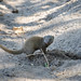 Zwergmanguste / Common Dwarf Mongoose