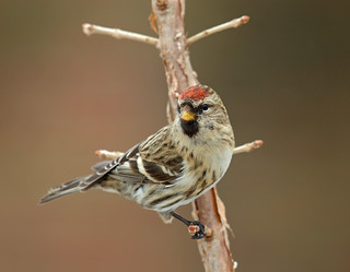 Portrait of a Redpoll