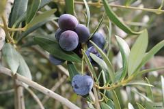 Olives (mbermejo23) Tags: flora aceituna fruto detalles olivo otoño