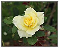yellow beauty... (MEA Images) Tags: roses gardens rosegardens flowers blooms flora nature parks pointdefiancepark tacoma washington canon picmonkey