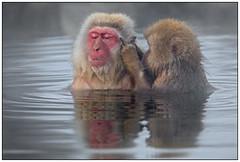 Snow Monkeys, Macaca (Macaca fuscata) (Japanse makaak) in het Jigokudani Monkey Park, nabij Nagano in Japan …. (Martha de Jong-Lantink) Tags: 2015 japan japansemakaak jigokudanimonkeypark macaca macacafuscata macaque nagano sneeuwapen snowmonkeys squiver