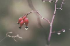 """Scarlet Quartet"" Haiku (MontanaRoots (aka Craig)) Tags: rain muted nostalgic macro canon 100mm red painterly pastel"
