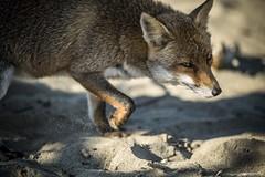 Fox (wortschnipsel) Tags: fox fuchs maremma italien italy beach strand tuscany toskana wortschnipsel animal tier fauna