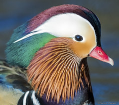 Mandarin duck (Scottish_And_Proud) Tags: mandarin duck balloch