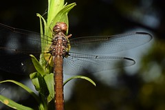 DSC_0026 (valentinasinner) Tags: dragonfly libélula spider nikon naturaleza nikonista nature nikonargentina entrerios insectes animals enero nikond5300
