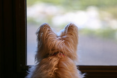 window to the world (Dotsy McCurly) Tags: ruffy cute dog cairnterrier looking outside front door screen window world nature beautiful dof bokeh canoneos5dmarkiii nj snow