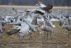 "Liftoff (Scott ""Burns"" Evans) Tags: sandhill crane scott evans ewing bottoms jackson county indiana winter 2017 february avian bird photography nature"