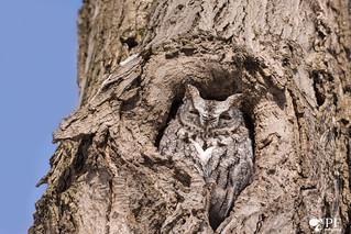 ''Victor!'' Petit-duc maculé de forme gris- Eastern sreech owl-Megascops asio
