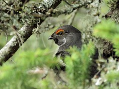 Sooty Grouse (poecile05) Tags: