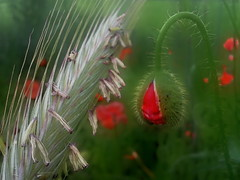 Mohnblumenknospe (Gerhard Kgler) Tags: sterreich feld niedersterreich blumau knospe mohnblume rotgrn getreidefeld feldblumen