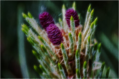 Young Pine Cones (Clive1945) Tags: ross fractal d7100