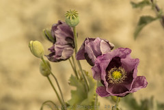 Purple poppies (hsrsji) Tags: wild nature purple poppies