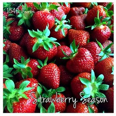 "The Special Strawberry Season Issue of The 1840 Farm Community Newsletter.    If you're a subscriber, then you have eight of my family's favorite strawberry recipes waiting for you in your inbox.  You'll also be the first to learn about our newest line of • <a style=""font-size:0.8em;"" href=""http://www.flickr.com/photos/54958436@N05/18772846659/"" target=""_blank"">View on Flickr</a>"