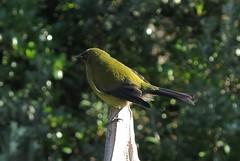 bellbird - Tiri Tiri Matangi