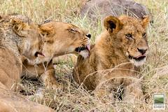 Lions at Serengeti National Park - © 2015 Jean-François Schmitz (JF Schmitz) Tags: africa animal tanzania wildlife lion safari mara serengeti