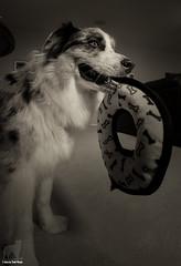 Lord of the Ring (Jasper's Human) Tags: aussie australianshepherd tuffyultring