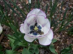 Tulip (Flowers Galore) Tags: flowers nature garden spring tulip whitetulip beeattractant perennialbloomer