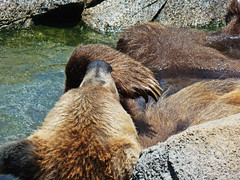 (Sailor.Doom) Tags: bear wild water closeup zoo cool furry wildlife fluffy ears grizzly claws grizzlybear riverbankszoo riverbankszooandbotanicalgarden