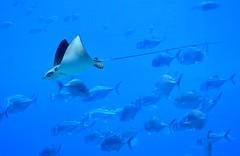 sting ray (Krasivaya Liza) Tags: ocean city atlanta urban fish swimming ga georgia aquarium atl sharks tanks