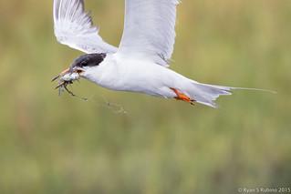 Rubino Forster's Tern  w fish 20150802 Bolsa Chica Ecological Preserve Huntington CA 1161-3