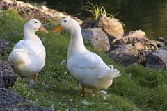 Coonskin Duck Pond (jmhutnik) Tags: park summer water grass rock pond ducks westvirginia coonskinpark