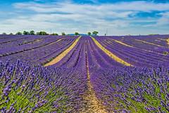 Le Temps des Fleurs (marypink) Tags: flowers summer sky france field clouds estate pov plateau perspective campagna lavander provence fiori francia altopiano provenza lavanda valensole nikond800 nikkor1635mmf40