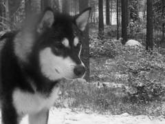Thinking (jondewi52) Tags: animal alaskan black dog forest malamute musher outdoors outdoor snow sleddog sleddogs nature winter white wood woods blackandwhite monochrome