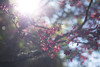 Taiwan Cherry (tpkcpk) Tags: taichung taiwan mountain trees flower sunshine travel winter canon formosa 100mm