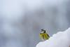 Blåmeis - Blue tit.jpg (Robert Fredagsvik - Norway) Tags: events fugler places risvollan norway estenstadmarka trondheim blåmeis bluetit birds