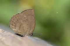 / Arhopala paramuta horishana (Matsumura, 1910) (Sam's Photography Life) Tags:     canon nature butterfly green