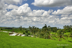 The blessed land - Jatiluwih, Bali (Pic_Joy) Tags: bali indonesia asia 巴厘岛 印尼 亚洲 jatiluwih terrace paddies clouds field