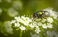 It's alive - for Macro Monday (fabiennej) Tags: macromondays itsalive macro canon canon100mm fly flowers blowfly yuck
