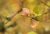 Leste Verte Automnale (regisfiacre) Tags: leste verte viridis chalcolestes libellule dragonfly libelle libellula damselfly demoiselle green autumn automne bokeh canon nature macro 100mm france insect insecte bugs wings ailes