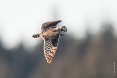 Short-eared owl (Asio flammeus) (Tony Varela Photography) Tags: asioflammeus owl photographertonyvarela shortearedowl seow