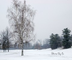 Winter Birch (Eyes Open To Life) Tags: snow winter tree birch nature vermont snowfall