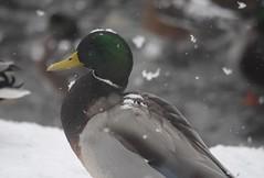 Mallard (careth@2012) Tags: scenery scene scenic view winter snow icy frozen britishcolumbia mallard duck wildlife bird nature