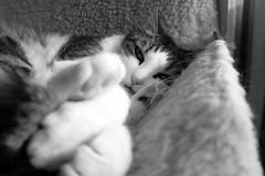 Ellen's four paws (Alfredo Liverani) Tags: monocromo monochrome bianco nero biancoenero bn black white blackandwhite blackwhite bw neroametà italia italy italien italie emiliaromagna romagna faenza faventia faience animal kitten gatto gatta gatti gatte cat cats chats chat katze katzen gato gatos pet pets tabby furry kitty moggy moggies gattino animale ininterni animaledomestico aliceellen ellen happycaturday canong5x canon g5x