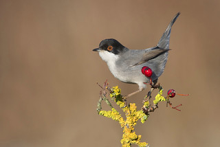 sardinian warbler- occhiocotto