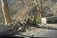 _DSC2478_DxO (Alexandre Dolique) Tags: d810 inde udaipur rajasthan singe monkey attaque attack india