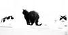 3 monochrome puss cats (PDKImages) Tags: cat black ragdoll monochrome pet animal feline blackcat asleep eyes calming